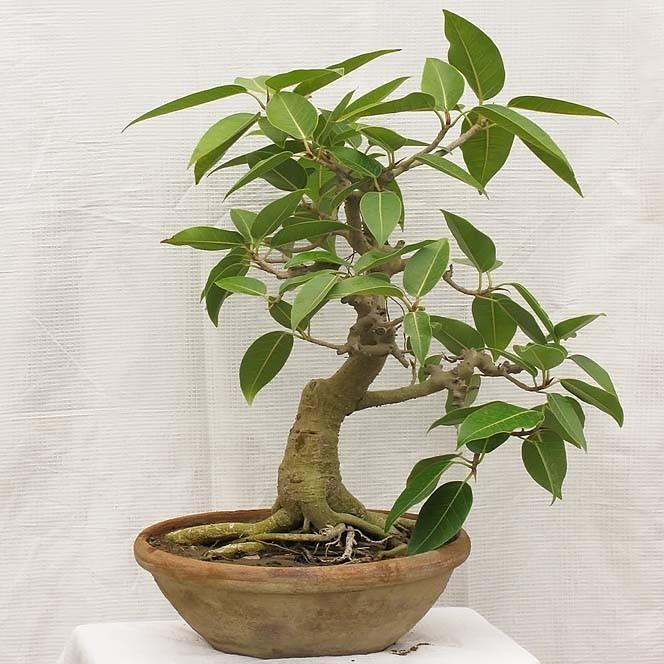 Ficus GLOMERATA или Фикус Кистевидный