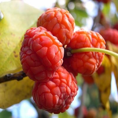 Cudrania TRICUSPIDATA или Малиновое Дерево (семена)