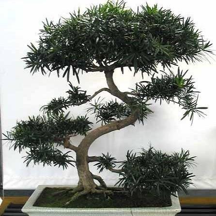 Podocarpus Gracilior или Ногоплодник
