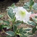 Brugmansia Suaveolens Variegata или Бругмансия Пестролистная