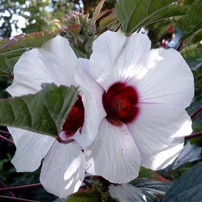 Hibiscus CANNABINUS или Гибискус Коноплевый (семена)