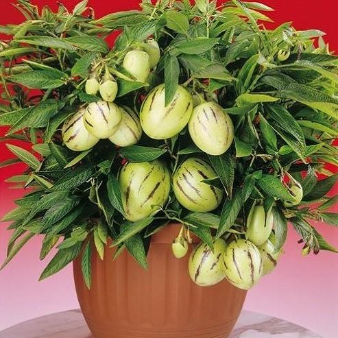 Solanum MURICATUM или Пепино (семена)