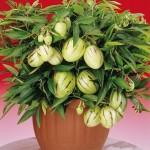 Solanum MURICATUM или Пепино