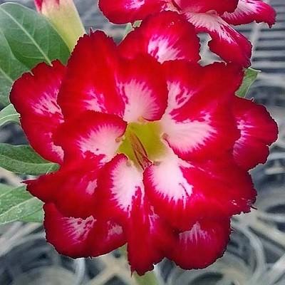 Adenium Obesum Double Flower KO-52 (семена)