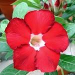 Adenium Obesum Desert Rose ROYAL RUBY