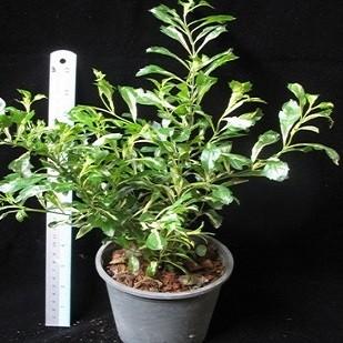 Дуранта Эректа Триколор (растение)