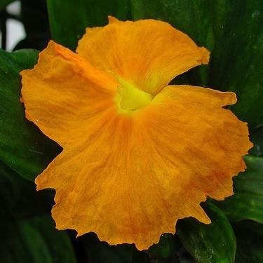Костус Огненно-Красный (растение)