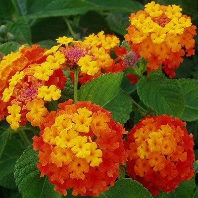 Лантана Камара (растение)