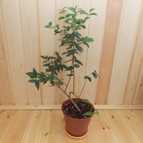 Мирт Крупнолистный (растение)
