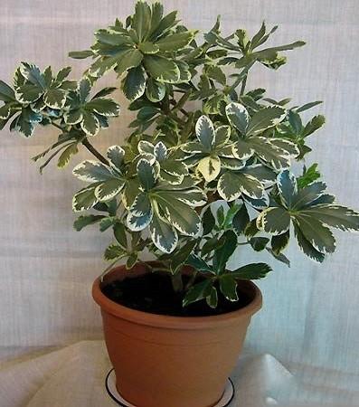 Питтоспорум Вариегатный (растение)