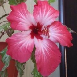 Гибискус Вариегатный Розовый (растение)