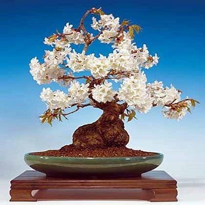 Prunus MAHALEB или Черемуха Антипка (семена)