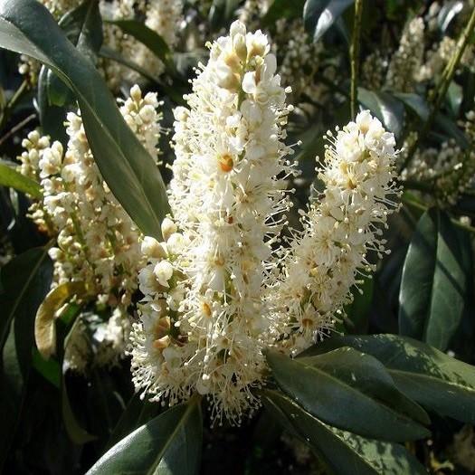 Prunus LAUROCERASUS или Лавровишня (семена)