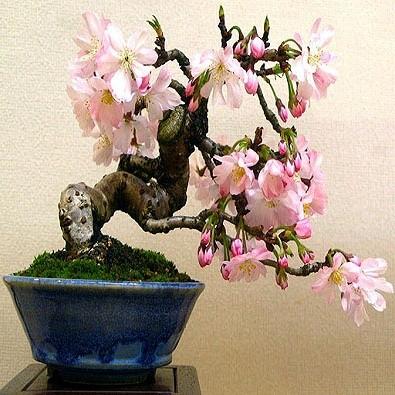 Prunus AVIUM или Черешня (семена)