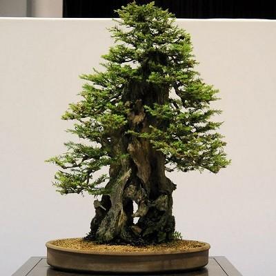 Sequoiadedron GIGANTEUM или Секвойядендрон Гигантский (семена)