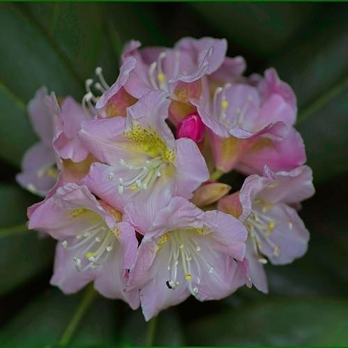 Rhododendron BRACHYCARPUM или Рододендрон Короткоплодный (семена)