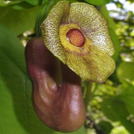 Aristolochia DURIOR или Аристолохия Крупнолистная (семена)