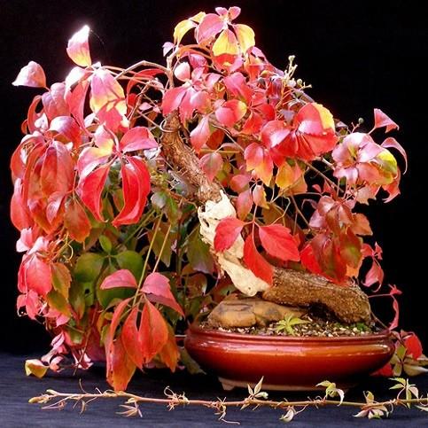 Parthenocissus QUINQUEFOLIA или Девичий Виноград Пятилистный (семена)