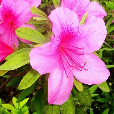 Rhododendron PERICLYMENOIDES или Рододендрон Голоцветковый (семена)