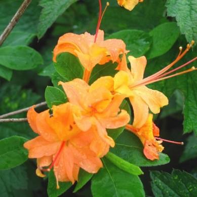 Rhododendron CALENDULACEUM или Рододендрон Ноготковидный (семена)