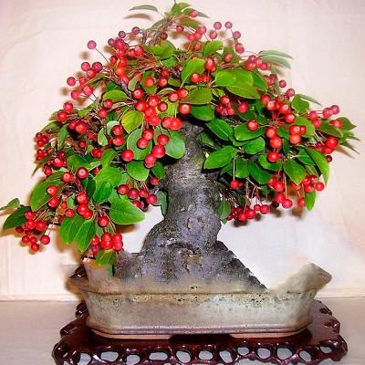 Malus FLORIBUNDA или Яблоня Обильноцветущая (семена)