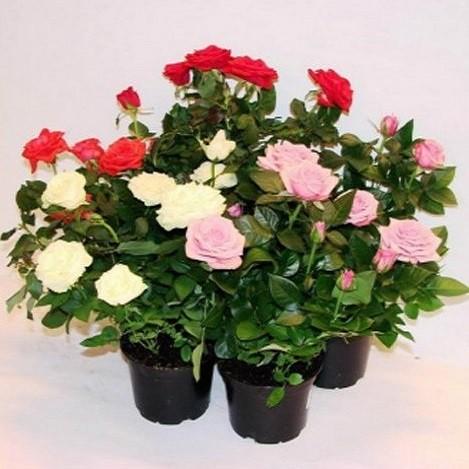 Rosa MIXED или Роза Гибридная (семена)