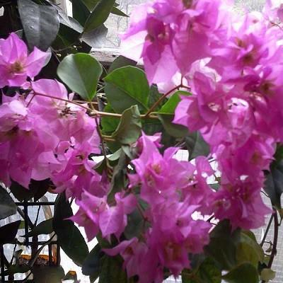 Бугенвиллея DOUBLE PURPLE (растение)