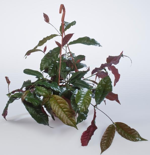Экскокария Биколор (растение)