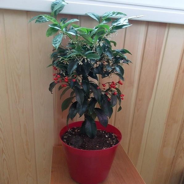 Скиммия Японская (растение)