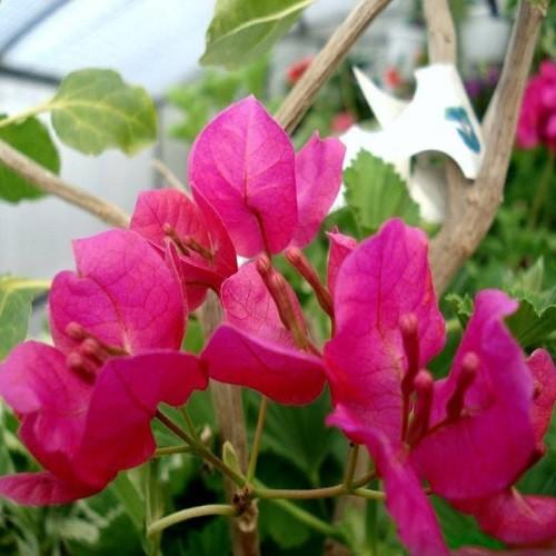 Бугенвиллея BLACK INDIA RED (растение)