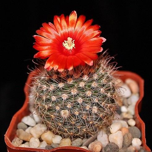 Rebutia RUBRIFLORA или Ребуция Красноцветковая (семена)