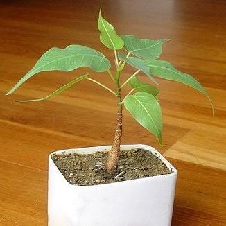 Фикус Священный (растение)