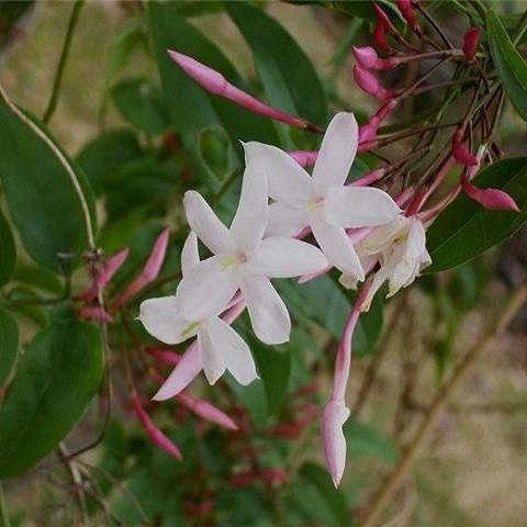 Жасмин Лекарственный (растение)