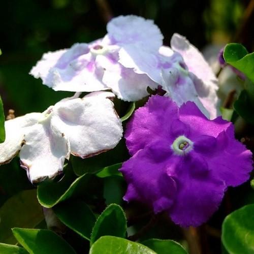 Брунфельсия Крупноцветковая (растение)
