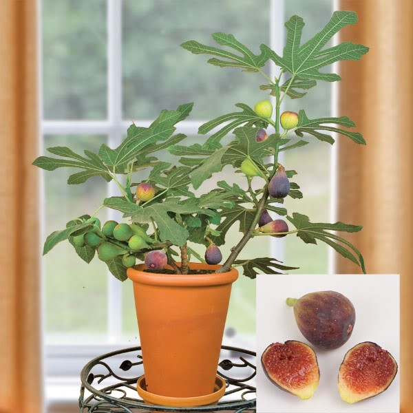 Инжир (растение)