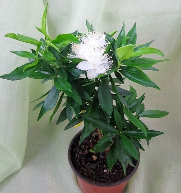 Мирт Боэтика (растение)