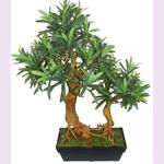 Подокарпус или Ногоплодник (растение)