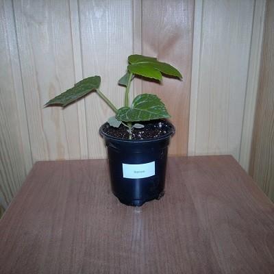 Фатсия Японская (растение)