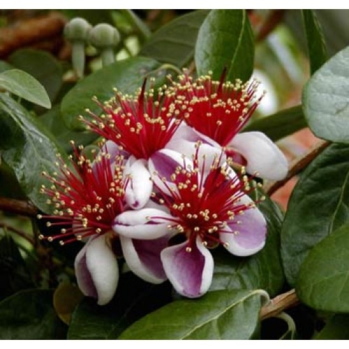 Фейхоа (растение)