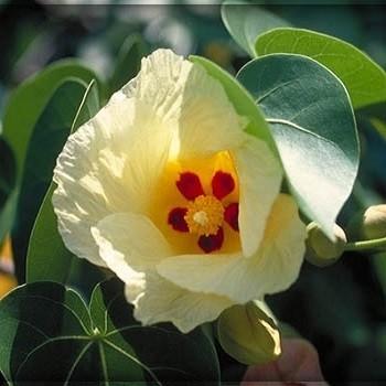 Thespesia POPULNEA или Индийское Дерево Тюльпана (семена)
