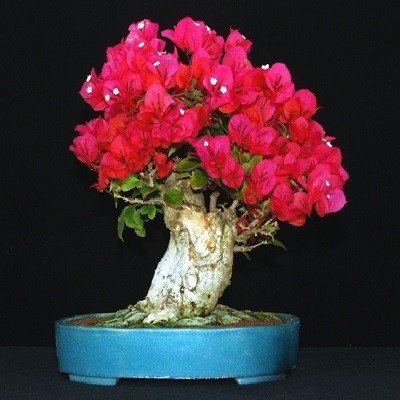 Bougainvillea MIXED FLOWERS или Бугенвиллея (семена)