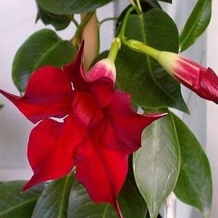 Мандевилла Сандера (растение)