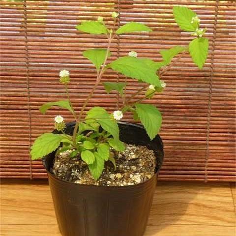 Липпия Сладкая (растение)