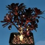 Aeonium Arboreum Atropurpureum или Эониум Древовидный