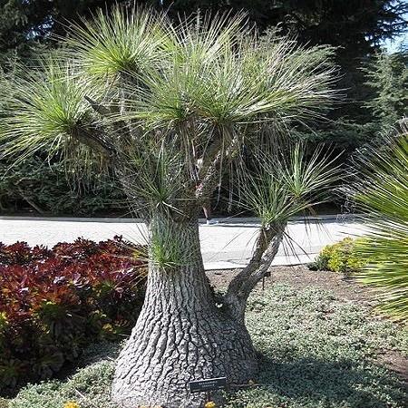 Beaucarnea GRACILIS или Бокарнея Изящная (семена)
