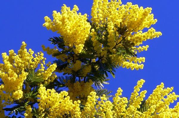 Где купить семена желтой мимозы розы emilien guillot купить