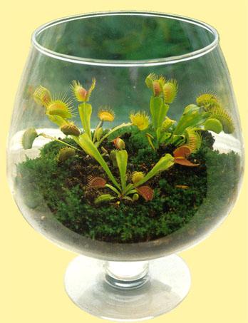 Dionaea miscipula for Plante carnivore mouche interieur
