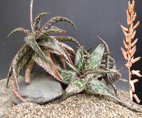 Aloe SOMALELIENSIS или Алоэ Сомаленсис