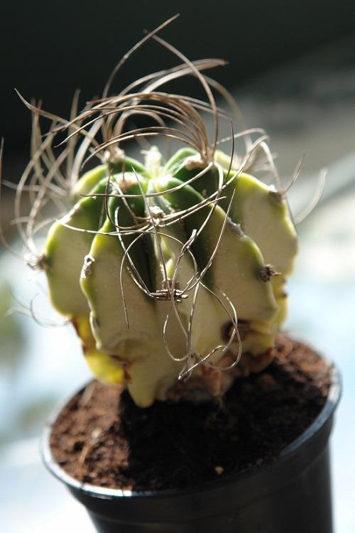 Astrophytum CAPRICORNE var Variegata или Астрофитум Козерогий Вариегатный
