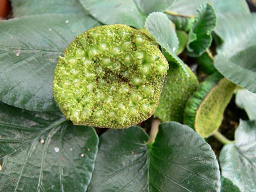 Dorstenia BRASILIENSIS или Дорстения Бразильская